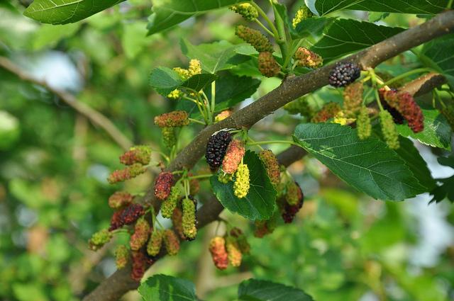 Reas verdes arbolado urbano miraflores - Arbre murier fruit comestible ...